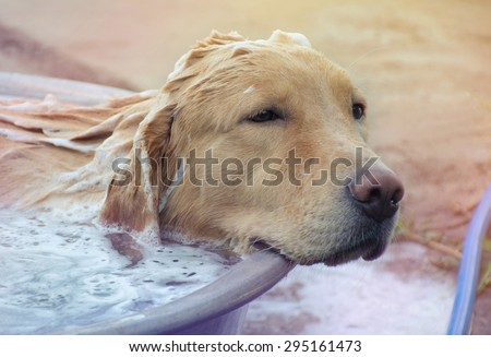Bath time for a Golden Retriever Dog  ,Soft Focus Color Filtered background - stock photo