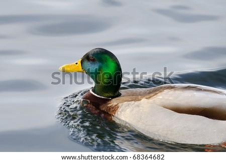 bathing duck - stock photo