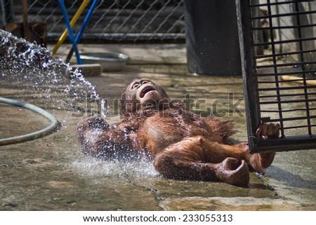 Bathing for orangutan - stock photo