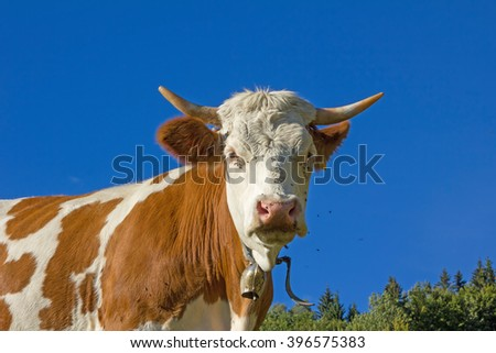 bavarian milker outdoor, brown and white brindled, blue sky - stock photo