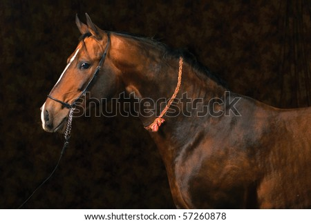 Bay akhal-teke horse - stock photo