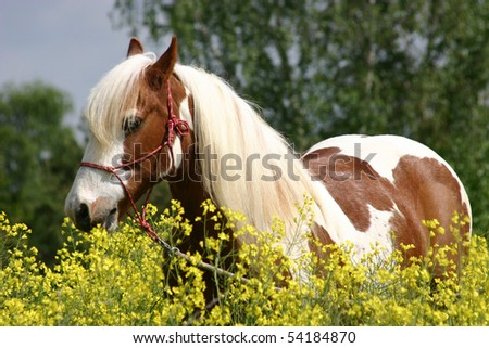 bay and white irish tinker - stock photo