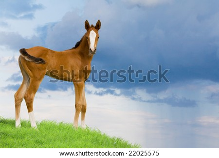bay foal in field 2 - stock photo