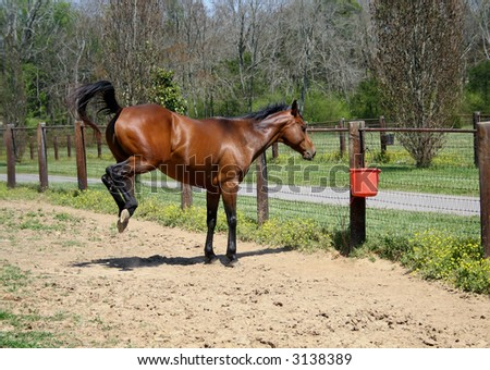 Bay Horse Bucking - stock photo