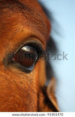 Bay horse eye close up - stock photo