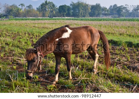 bay horse in field of thailand - stock photo