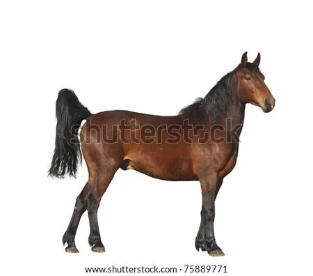 Bay horse isolated on white - stock photo