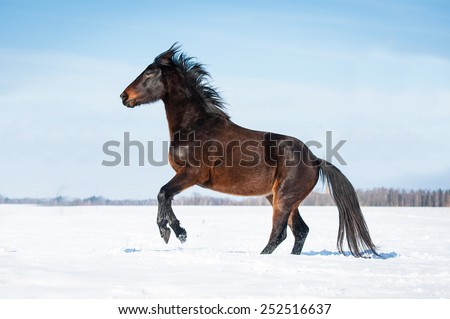 Bay horse rearing up in winter - stock photo