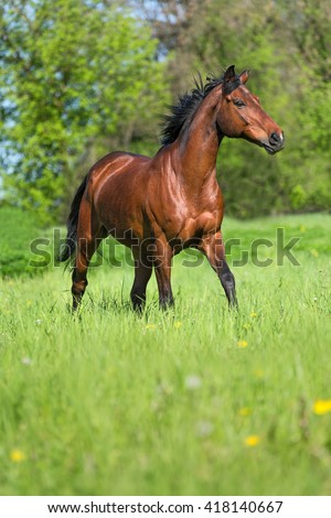 Bay horse running free in summer meadow. - stock photo