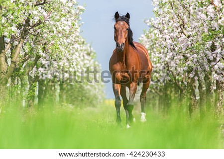 Bay horse running full gallop in a blooming garden. - stock photo