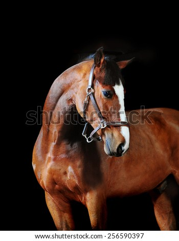 bay horse stallion portrait on the black background - stock photo