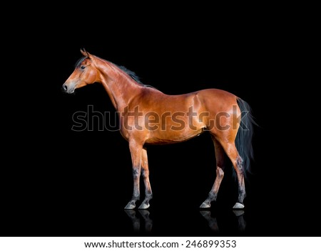 Bay horse standing on black background, isolated. - stock photo