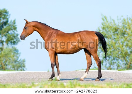 Bay horse standing on blue sky, conformation. - stock photo