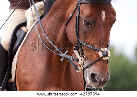 Bay horse training in bridle at summer - stock photo