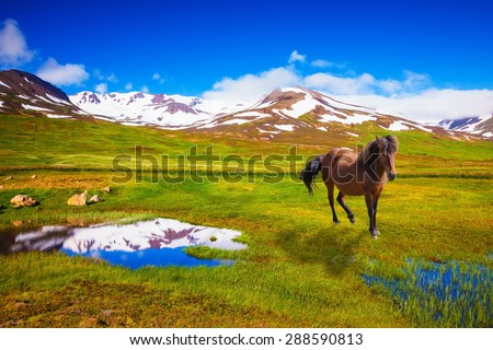 Bay Icelandic horse grazing in the meadow. Summer Iceland. Small lake surrounded by green fields - stock photo