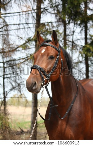 Bay latvian breed horse with bridle portrait - stock photo