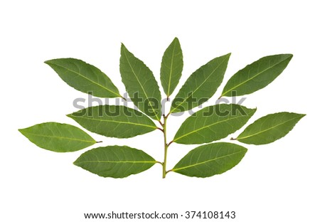 Bay leaves and a fresh picked sprig of leaves used in cooking to flavor food dishes. - stock photo