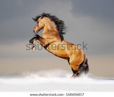 bay lusitano horse in winter - stock photo