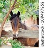 Bay Morgan Gelding looking over fence under Elderberry tree in paddock - stock photo