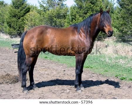 Bay Quarter Horse Stallion - stock photo