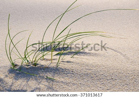 Beach grass in the sand. Single cluster of beach grass in the sand. - stock photo
