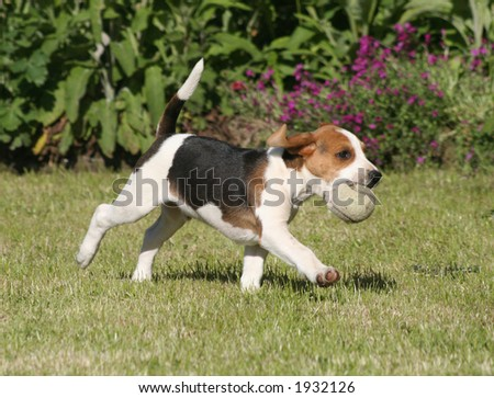 Beagle and the ball - stock photo