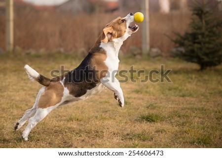 Beagle dog catching ball - stock photo