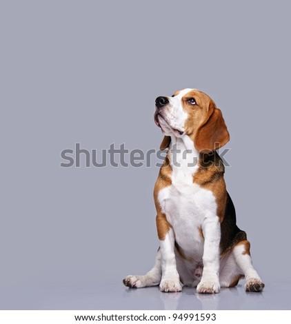 Beagle dog isolated on grey background - stock photo
