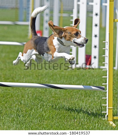 Beagle Dog Jumping Fence With Tail Up - stock photo