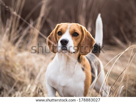 Beagle dog looking alert with tail up - stock photo