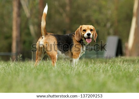 Beagle dog looking alert with tail up in park - stock photo
