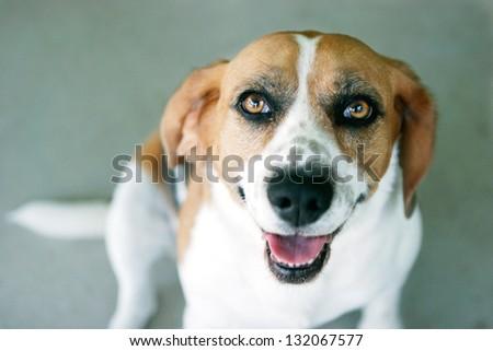 Beagle Dog Looking at the Camera (focus on eyes) - stock photo