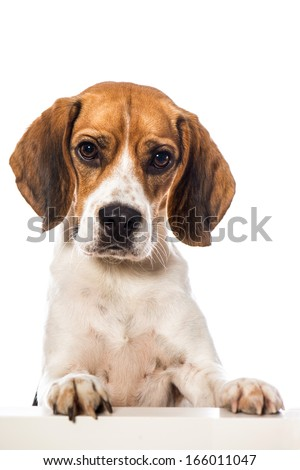 Beagle dog looking over a wall - stock photo