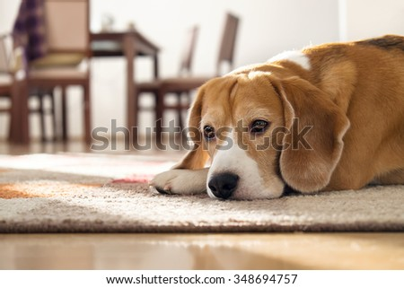Beagle dog lying on carpet in cozy home - stock photo