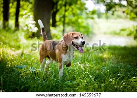 Beagle dog on the nature - stock photo
