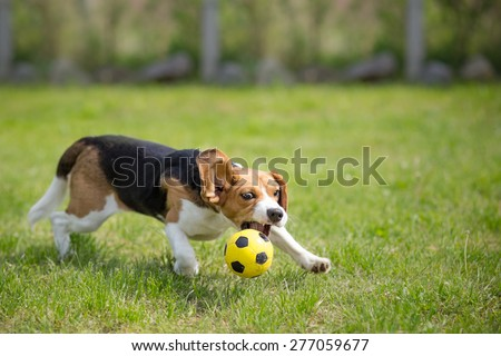Beagle dog playing football - stock photo