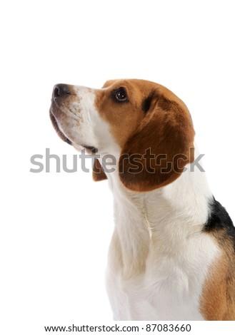 Beagle dog portrait in studio, isolated on white background - stock photo