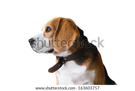Beagle dog portrait  isolated on white background - stock photo