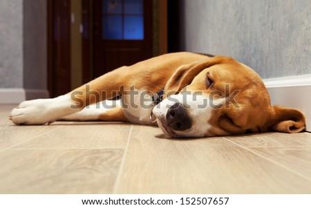 Beagle dog sleeping on the wood floor - stock photo