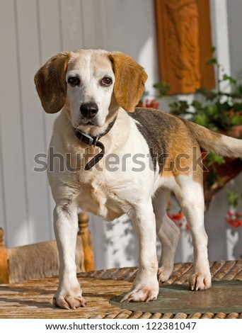 Beagle dog standing on a table top - stock photo