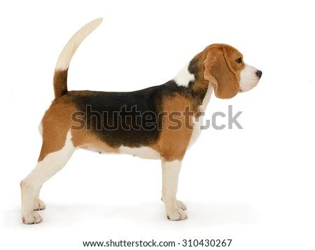 Beagle dog, stands isolated on white background  - stock photo