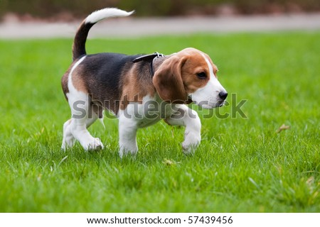 Beagle dog walking on the green grass - stock photo