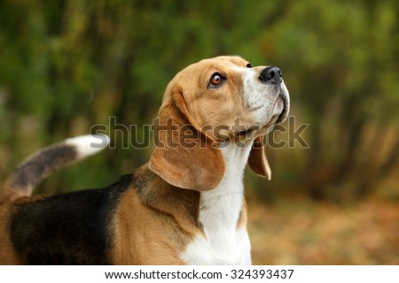 Beagle dogs, portrait - stock photo
