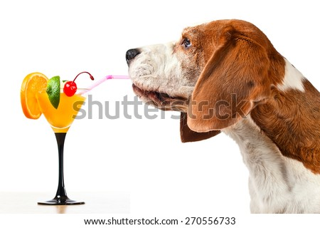 beagle drinks a cocktail, isolated on white - stock photo