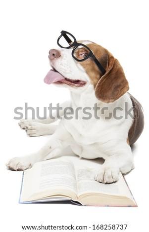 Beagle in glasses on white background in studio - stock photo