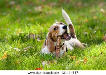 Beagle in green grass - stock photo