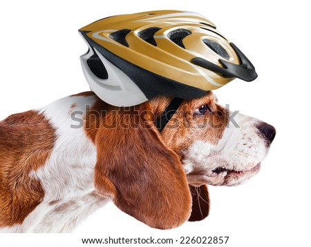 beagle in  helmet isolated on white background - stock photo