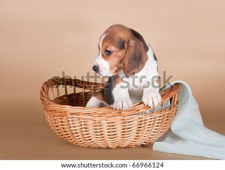 Beagle in the basket - stock photo