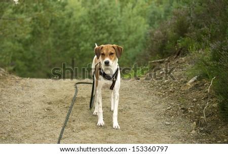 Beagle Mix Walking - stock photo