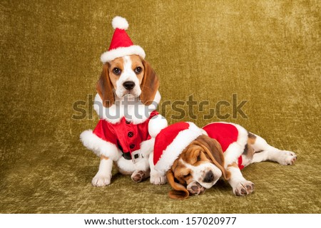 Beagle puppies dressed in Santa clothes sleeping on green gold background - stock photo